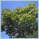 村の木 「トチ」