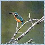 村の鳥 「かわせみ」